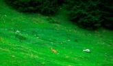 Rehe in freier Wildbahn