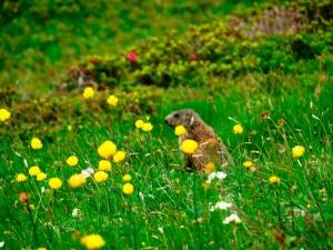 Murmeltier beim Blumenpflücken